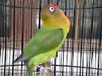 Tips Agar Burung Lovebrid Aktif dan Ngekek Panjang