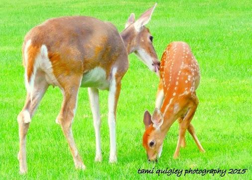 #deer #deerphotography #doe #fawn #whitetaildeer #tenderness #motherslove #mothersdaygift #mothersday...
