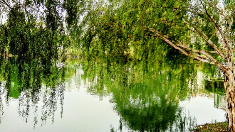 Mobile Photography: Weeping Willows 03