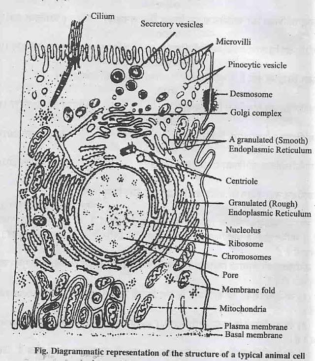 कोशिका किसे कहते है ? इसकी संरचना , प्रकार, सिद्धांत, विशेषताए, भाग एवं प्रोकैरियोटिक और यूकेरियोटिक कोशिका में अंतर