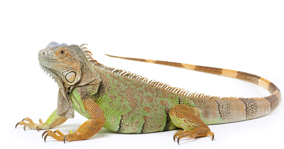 Iguana on white background - Khoirulpage