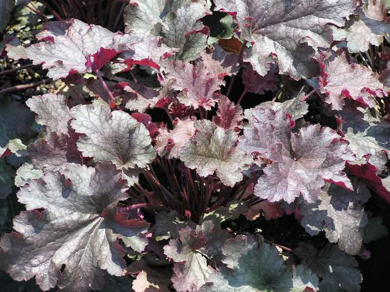 A Guide To Northeastern Gardening Feature Plant Heuchera Coral Bells A Perennial For All Seasons