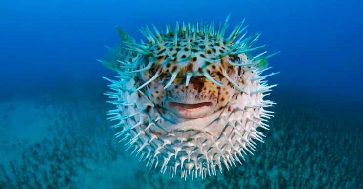 Kirpi balığı kamufle olma konusunda son derece yeteneklidir, derileri mercanlara benzer.