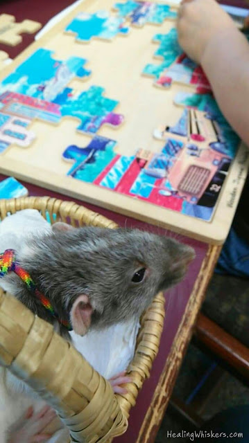 Vincent the Therapy Rat helping a child with a puzzle