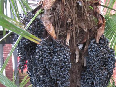 Frutti Maturi Palma della Cina