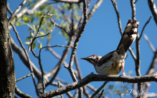 wattlebird singing to attract a mate