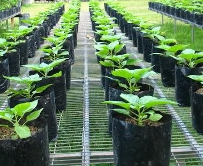 cara menanam cabai cepat dan mudah