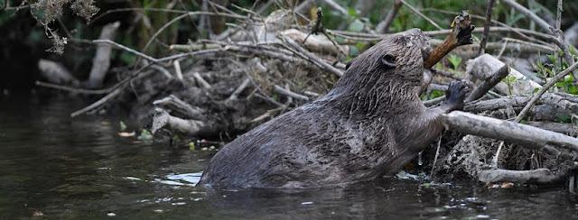 Beaver building a dam