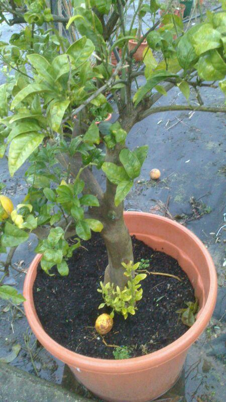Citriline costa del azahar comprar naranjos online en for Cultivo de arboles frutales en macetas