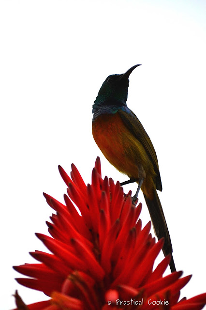 Orange Breasted Sunbird on top of a red hot poker aloe on Table Mountain