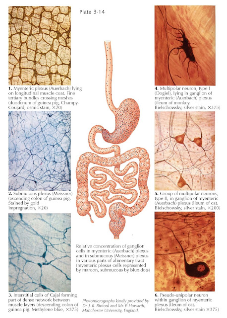 Intrinsic Innervation of Alimentary Tract