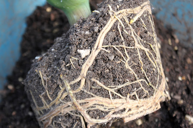 Aloe dawei cutting roots