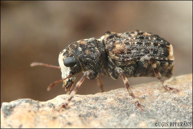 Platsmeceris (Dissoleucas niveirostris)