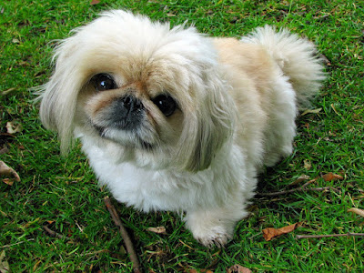 Top 10 Small Breed Dogs India You Will Fall in Love With