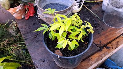 silk tree Ceiba pentandra seedling