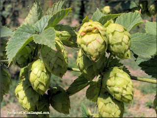 Colorado Hops