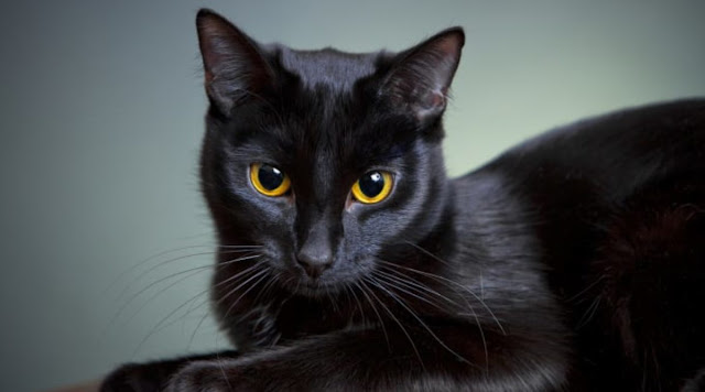 Black Cat Brings Prosperity, Luck And Fertility In A Home