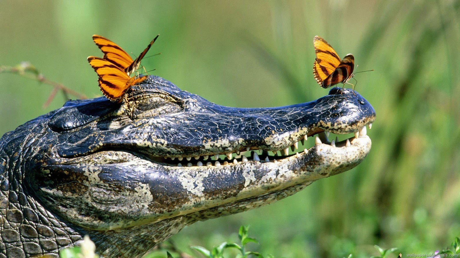 "American Alligator Wallpapers"" HD animal wallpapers"