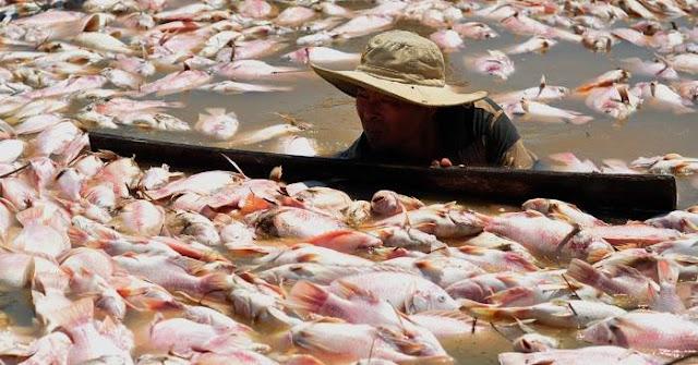 Hàng trăm tấn cá chết trắng sông sau một đêm, dân vớt không kịp