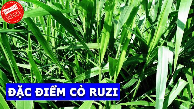 Đặc điểm của giống cỏ ruzi