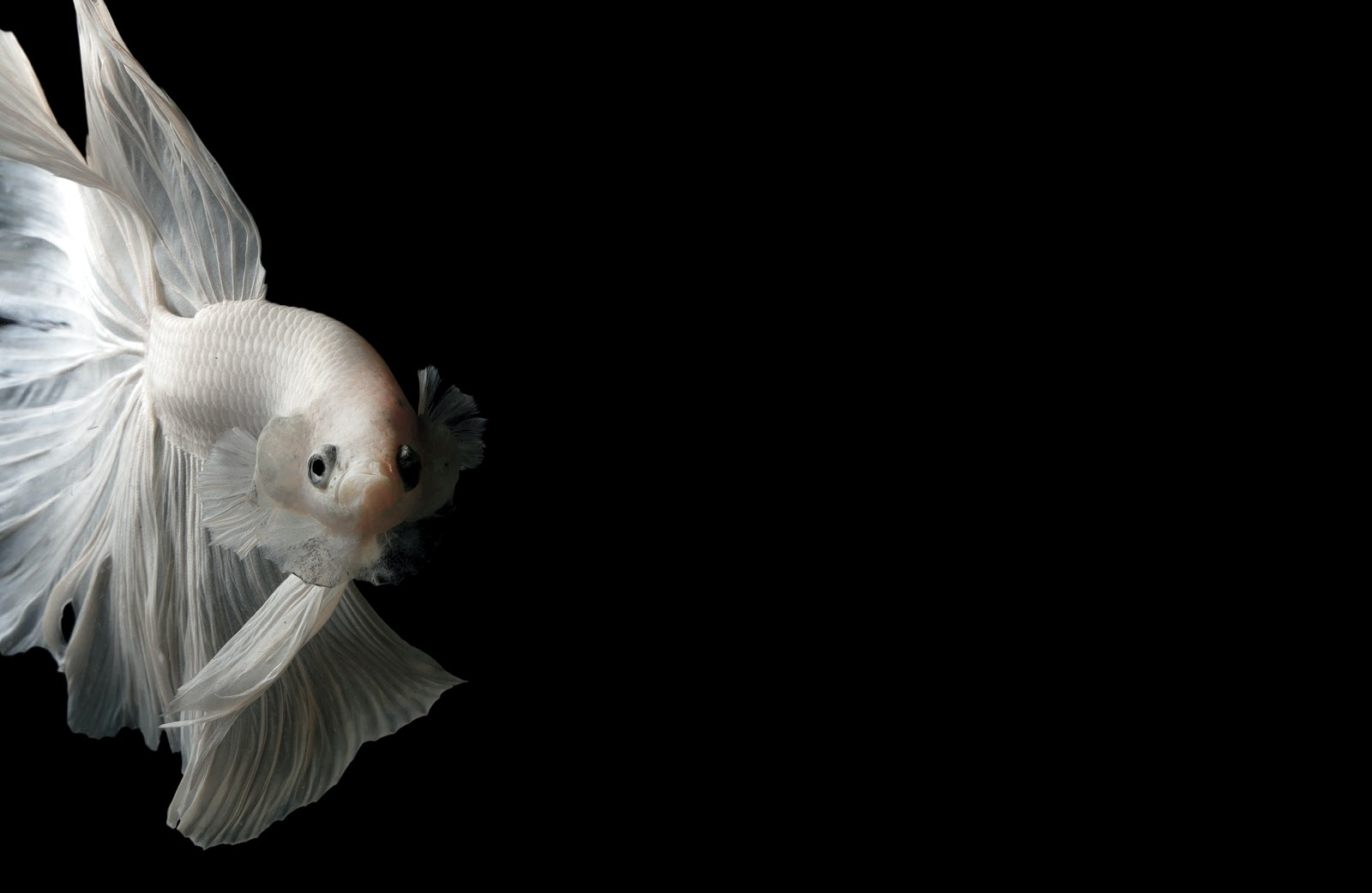 photo-of-a-white-fish-pictures