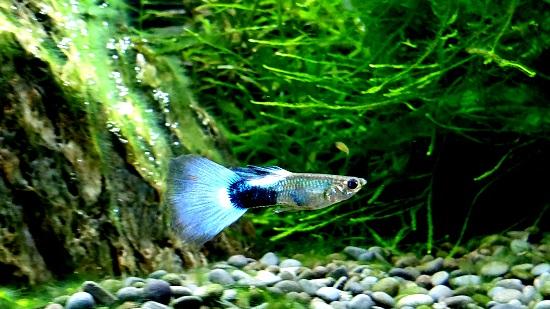 Best small community fish - Guppy