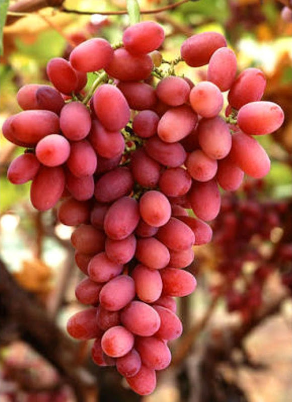 Bibit Anggur Import Jenis Autumn Pink Sedles Cod Jambi