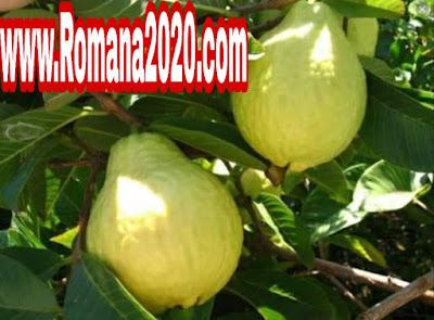 الجوافة، فوائد الجوافة، ورق الجوافة، فوائد ورق الجوافة، الجوافه، الصحة مسؤولية، هل تعلم.