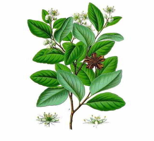 Sustitutivos del jabón: plantas con alto contenido en saponinas - Quillaja saponaria - Quillay - Jabón de palo