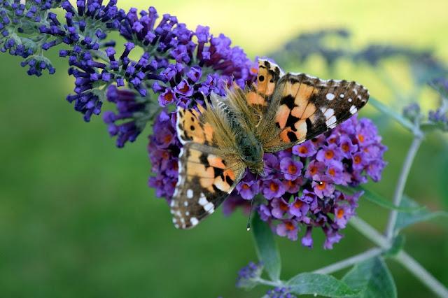 Mariposa monarca y árbol de las mariposas