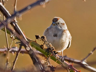 Photo of American Tree Sparrow in blackberry bramble