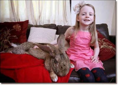 تعرف على اكبر ارنب في العالم .. وانظر الى حجمة الخيالى .. ستتفاجئ !