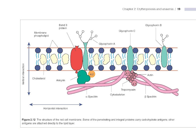 The structure of the red cell membrane. Some of the penetrating and integral proteins carry carbohydrate antigens; other antigens are attached directly to the lipid layer.