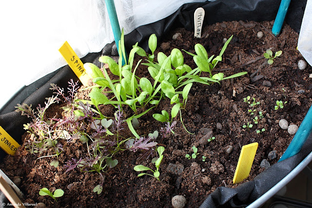 Leaf lettuce, spinach and garlic grown in container