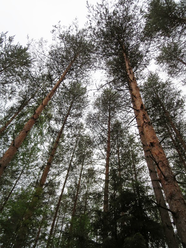 mänty pine