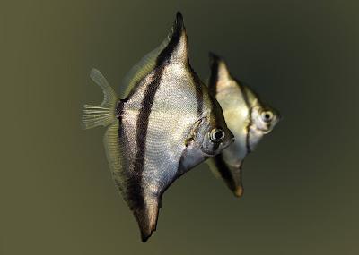 Ikan Monodactylus