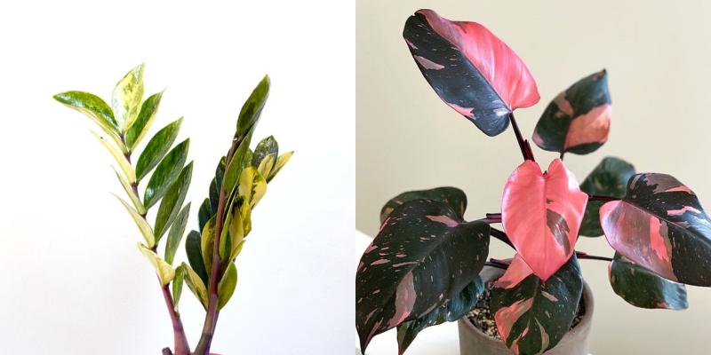 zz variegata philodendron pink princess