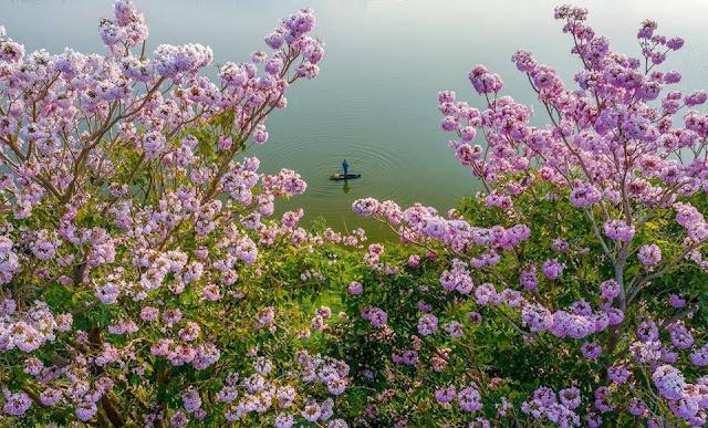 Lâm đồng: Bảo Lộc đẹp như cổ tích Trong sắc Hồng phấn B'Lao