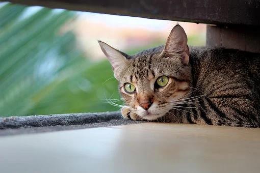 Mengapa Kucing Mengubur Kotorannya Sendiri?