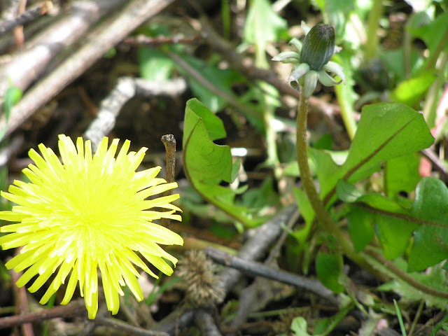 dandelion edible weeds