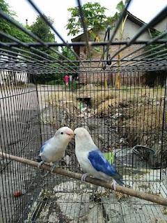 cara mengatasi lovebird tidak jodoh