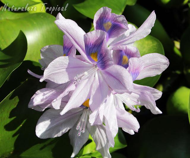 Flores del Jacinto de Agua, Eichhornia crassipes