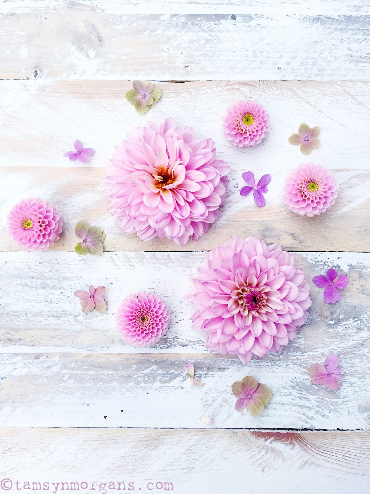 Candy Pink Dahlias