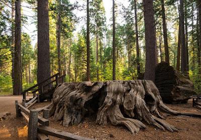 Discovery Tree, Sequoia, Calaveras Big Trees State Park, California