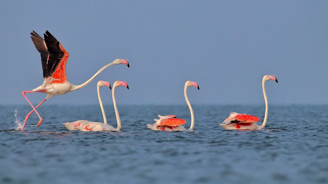 The Greater Flamingo, a large red, white, and black Bird in Chillika Lake Odisha