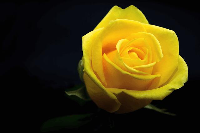 হলুদ গোলাপ ফুলের ছবি