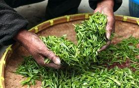 ما فوائد الشاي الاخضر