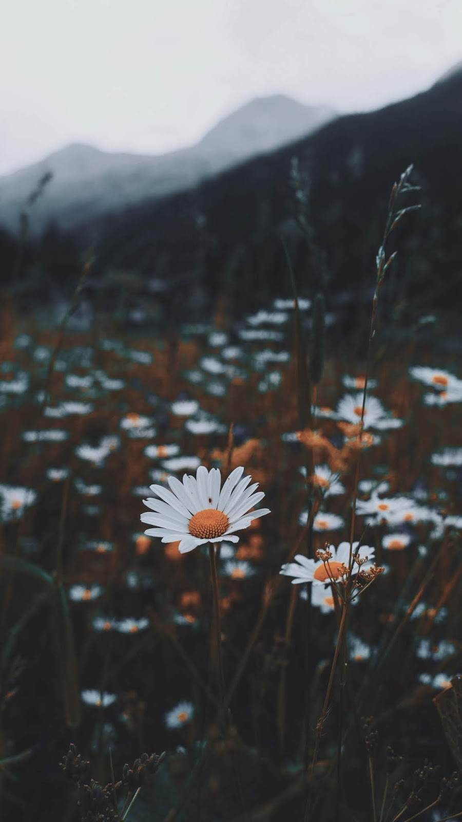 Daisy wallpaper android