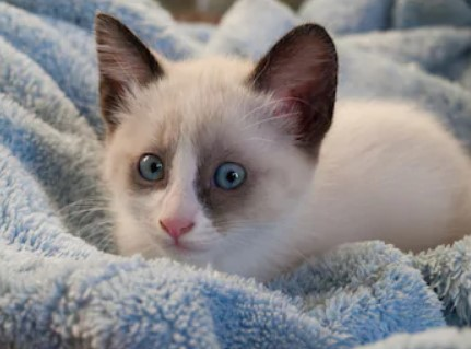 Snowshoe cat - all you want to know about Snowshoe cats
