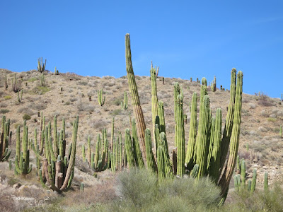cardon cacti